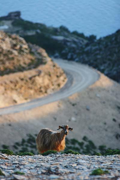 Goat on Loupastra