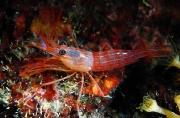 unknown shrimp