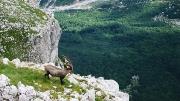 Ibex above Vrata valley