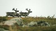 reindeer, Palkaskero, Pallas-Ylläs tunturi NP, Finland