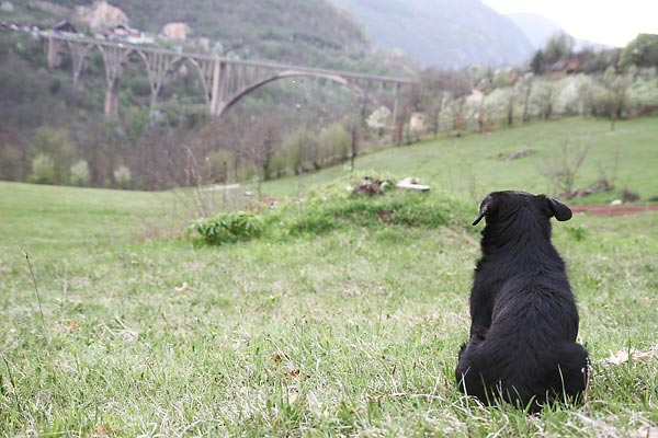 a dog and his bridge
