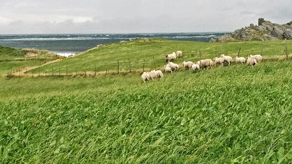 windswept sheep, Ferkingstad, Karmøy island ©Jonna