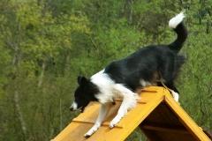 Agility dogs 2004