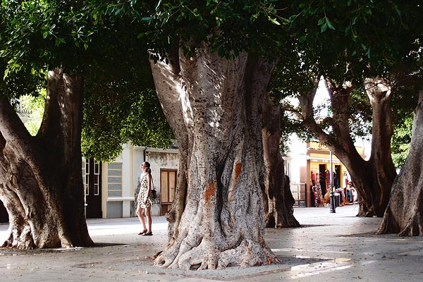 Ficus benjamina (not your indoor variety), San Sebastian de la Gomera