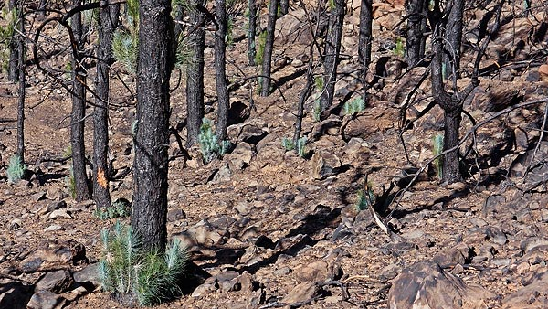 can\'t keep them down for long, rebirth after fire, Teide NP