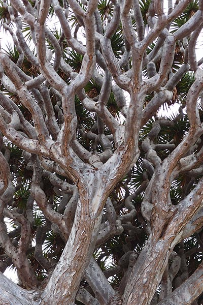 Dracaena draco, the dragon tree of Icod de los Vinos